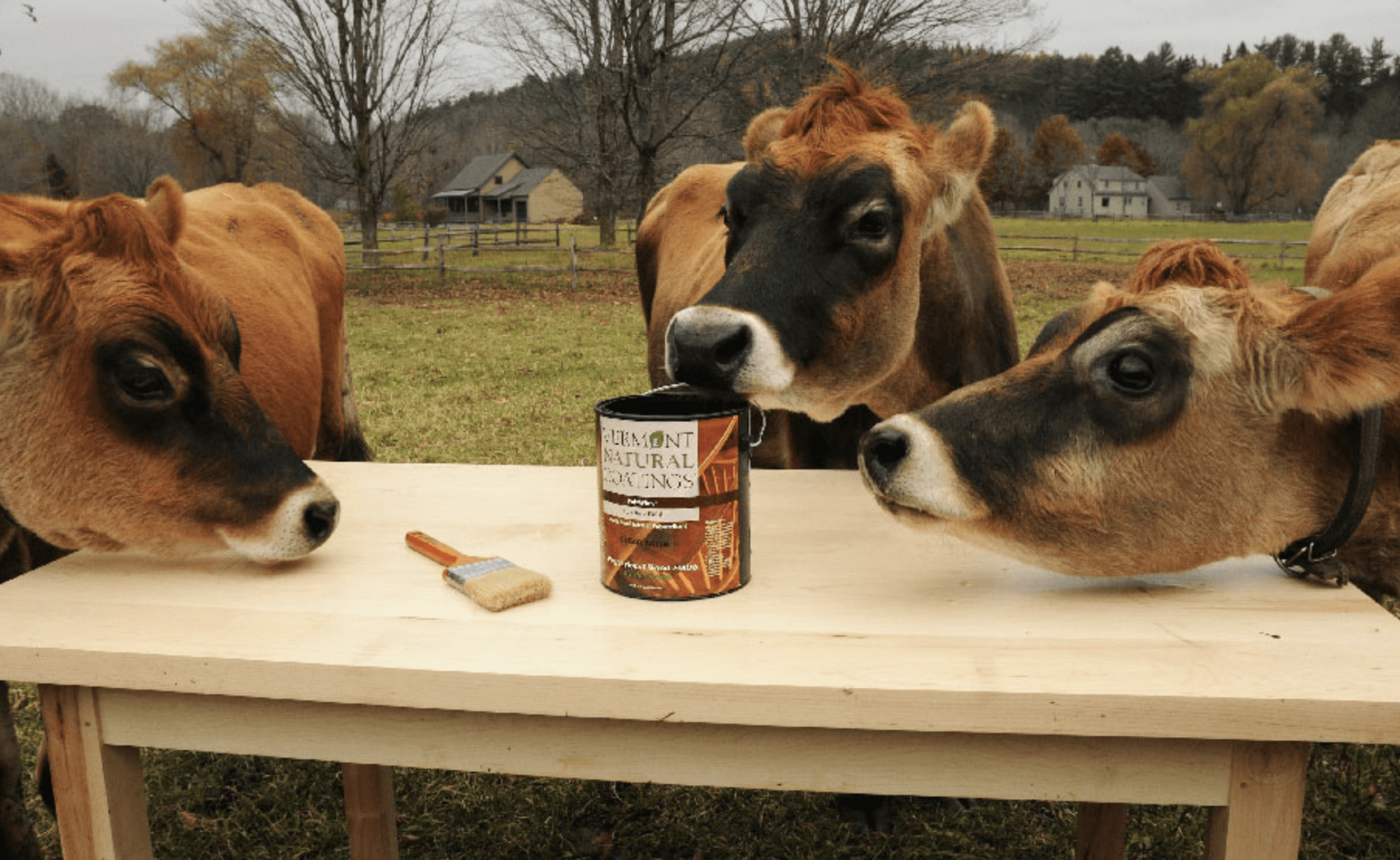 cows around a picnic eyeing a can of Vermont Natural Coatings and a paint brush