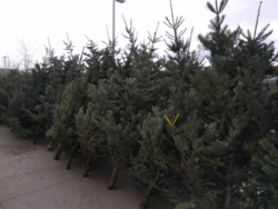 Christmas trees for sale Bozeman Montana