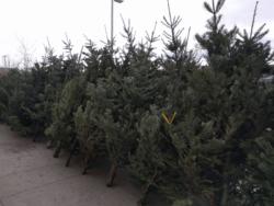 Christmas trees for sale Bozeman Montana