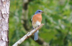 western blue bird Bozeman Montana