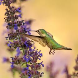hummingbird Bozeman Montana