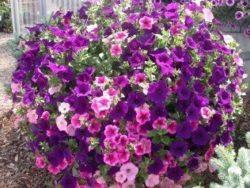 flower garden Bozeman Montana