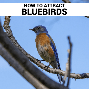 How To Attract Bluebirds bozeman montana