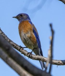 Western Bluebird bozeman montana