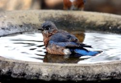 birdbath bozeman montana