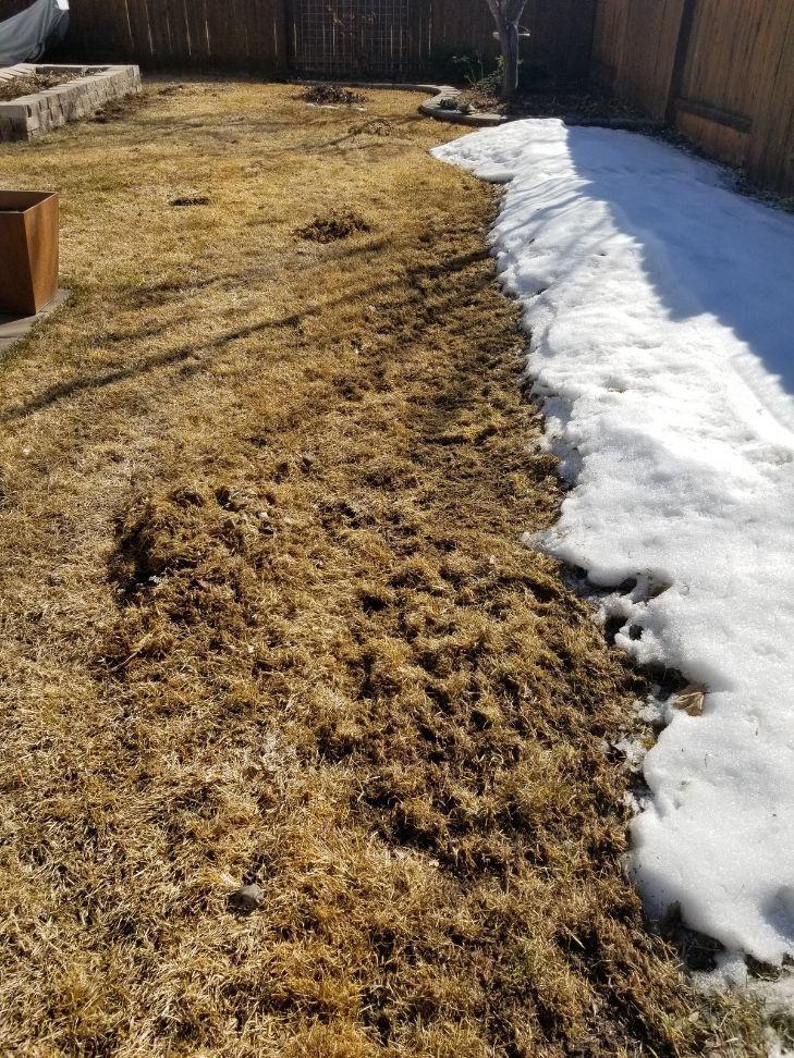 vole lawn repair - Bozeman, Montana