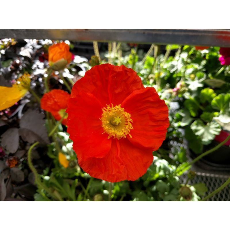 California Poppy Flower on Owenhouse Ace Hardware Bozeman