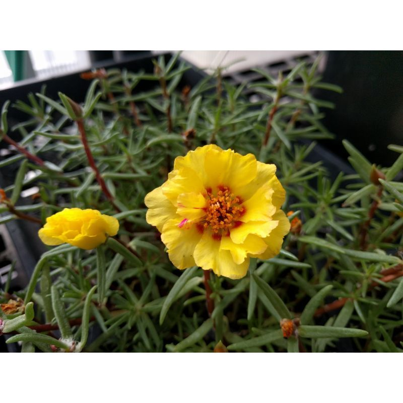 Portulaca Flower on Owenhouse Ace Hardware Bozeman