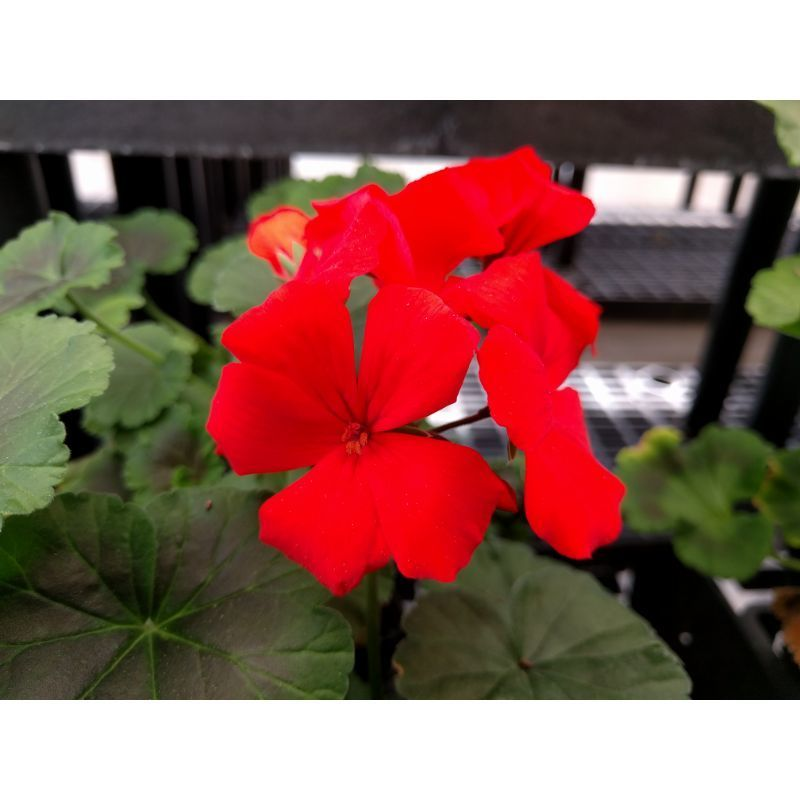 Geraniums flowers on Owenhouse Ace Hardware Bozeman