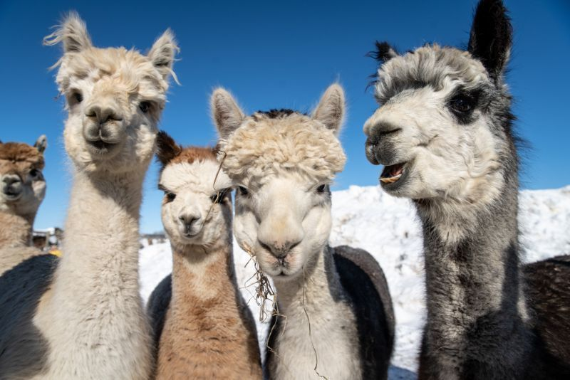 group picture of alpacas - Bozeman, Montana