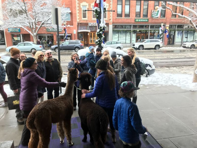 alpacas visit ace hardware store in montana