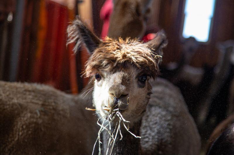 alpaca eating - Bozeman, Montana
