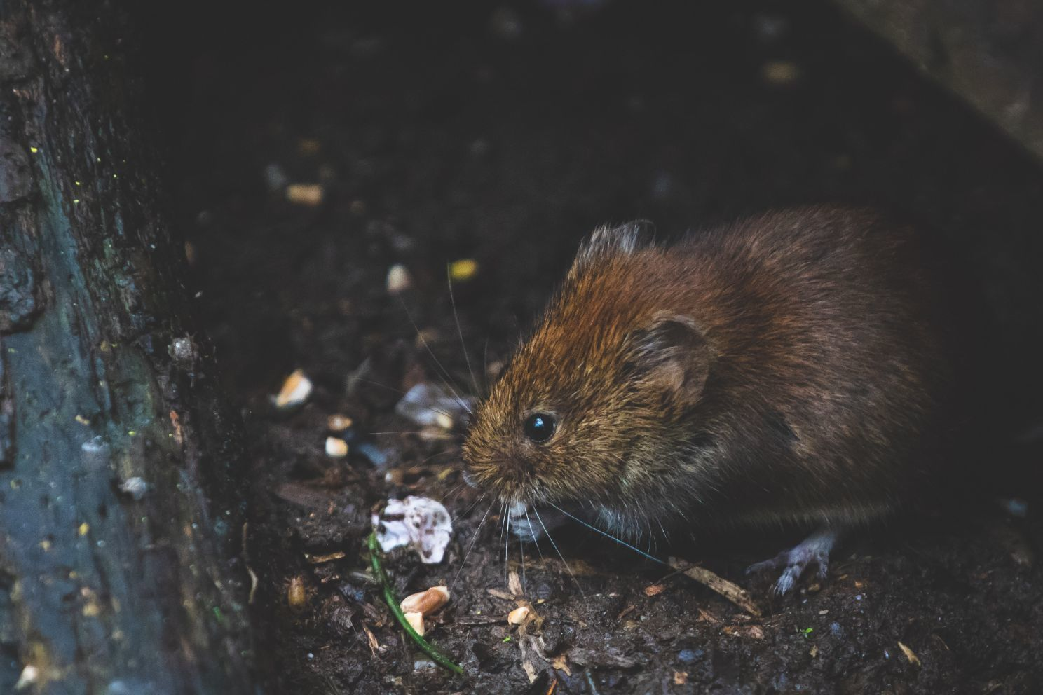 vole nibbling on food