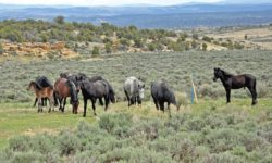 Volunteers help mustangs thrive in northwestern Colorado thumbnail