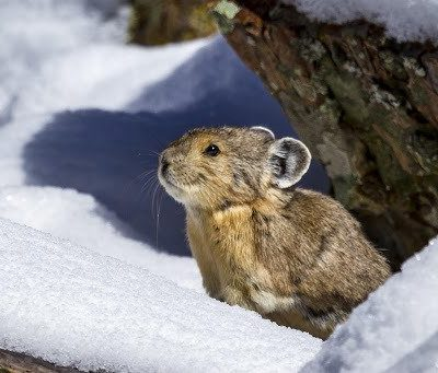 Front Range Pika Project rallies volunteers to combat climate change thumbnail