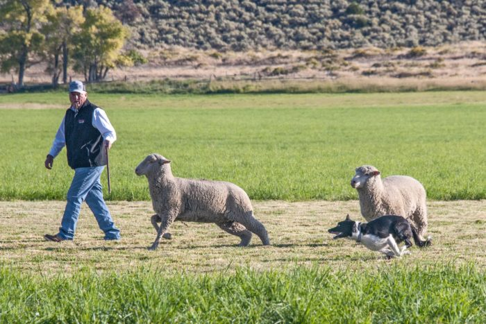 National sheepdog trials return to Strang Ranch thumbnail