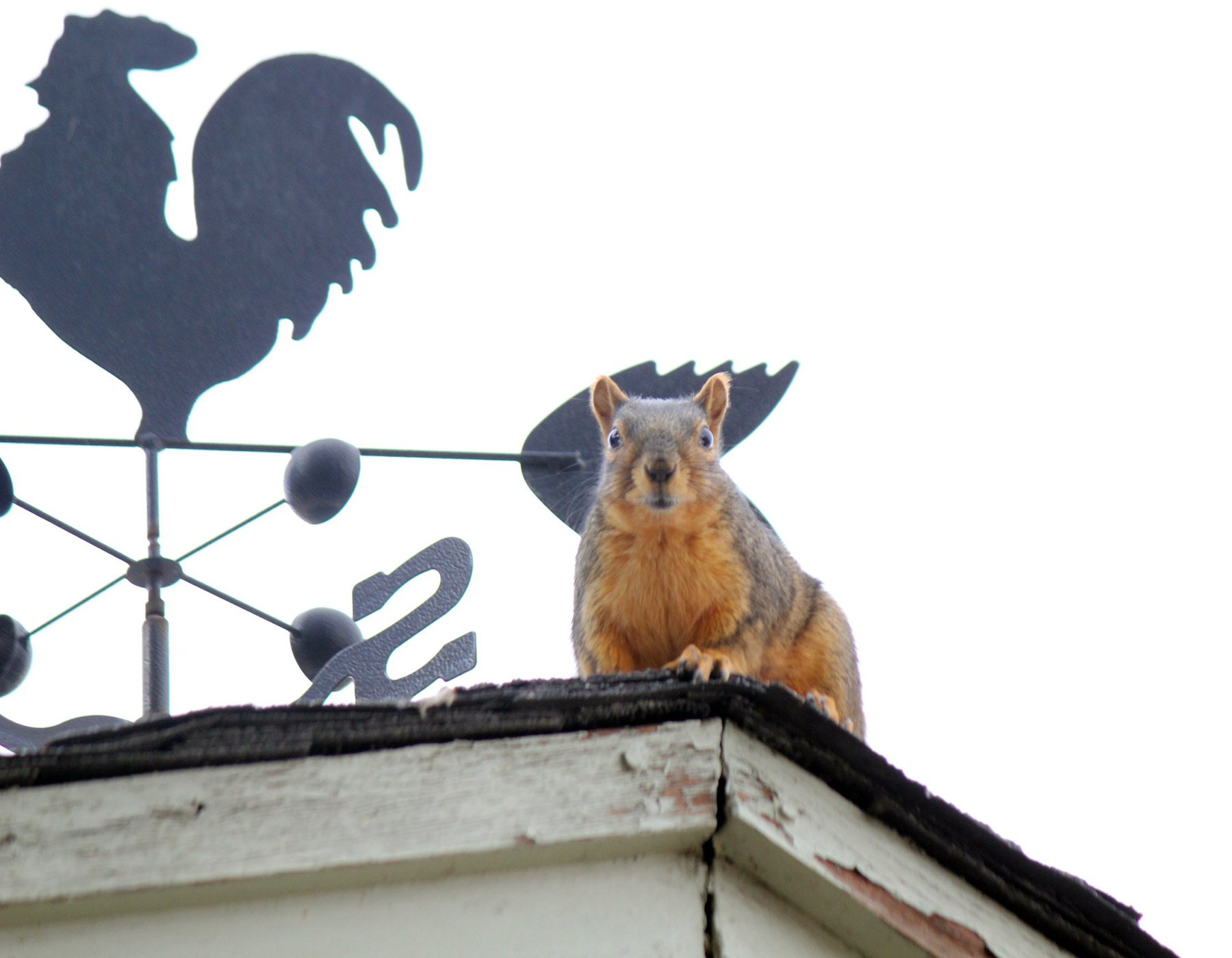 The fox squirrel says, 'I'm not going anywhere…' thumbnail