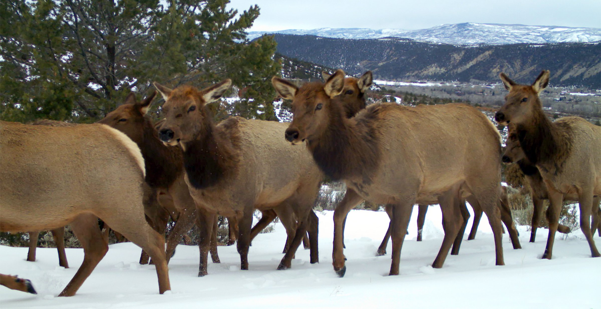 A wildlife camera captured this image of a herd of elk on Glassier Open Space. Adequate cover, shallower snows, and access to shrubby forage, typical of habitat on the Crown, are features that species like elk and deer rely on to survive winter.