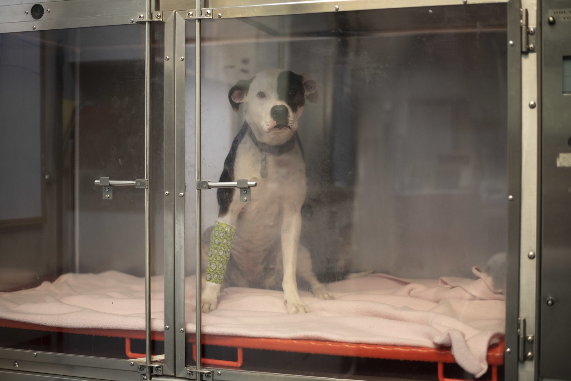Did you know that just like people visiting from lower elevations, pets can also get altitude sickness too? Oxygen cages provide air with a higher oxygen content to animals. For more on Basalt's Valley Emergency Pet Care, see page 10. Photo by Laurel Smith.