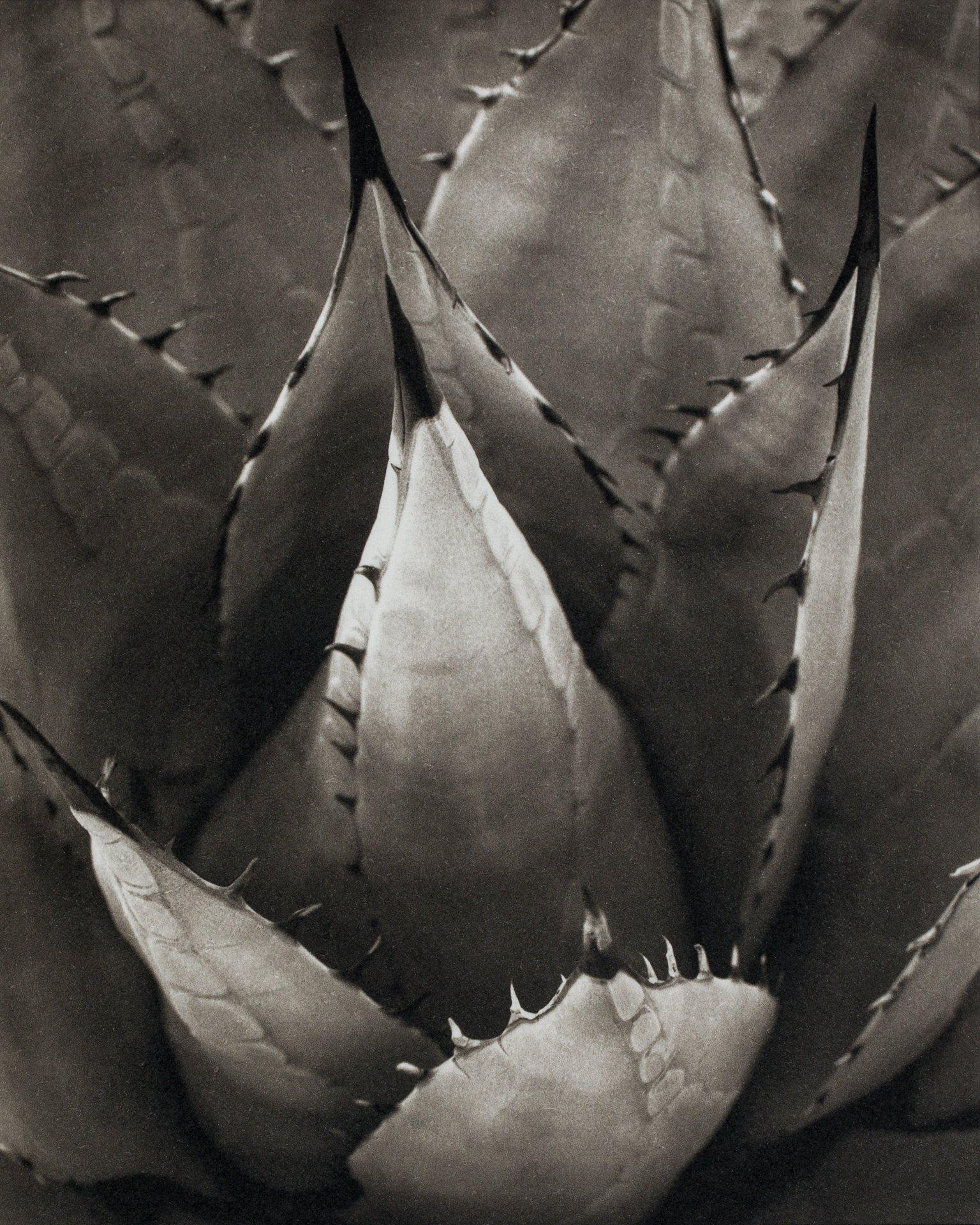 """Desert Agave"" by Deborah Shannan."