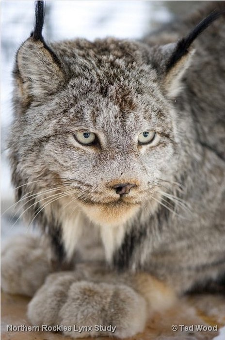 Canada lynx, similar in size to bobcats, are specially adapted to life in the snow, with large feet and long hind legs. Photo by Ted Wood.