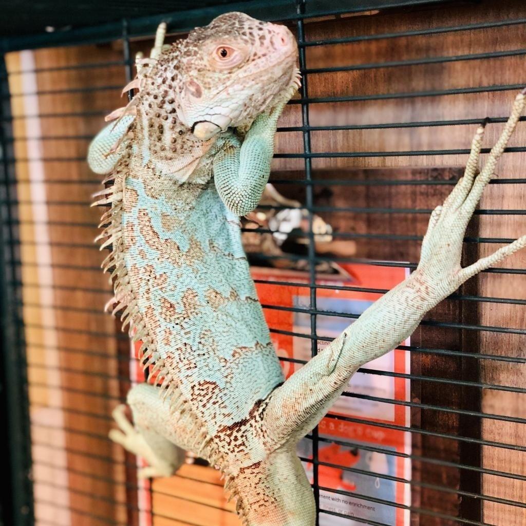 """Recientemente una gran, colorida iguana llamada """"Godzilla"""" se unió a la colección de animales en cuido de C.A.R.E."""
