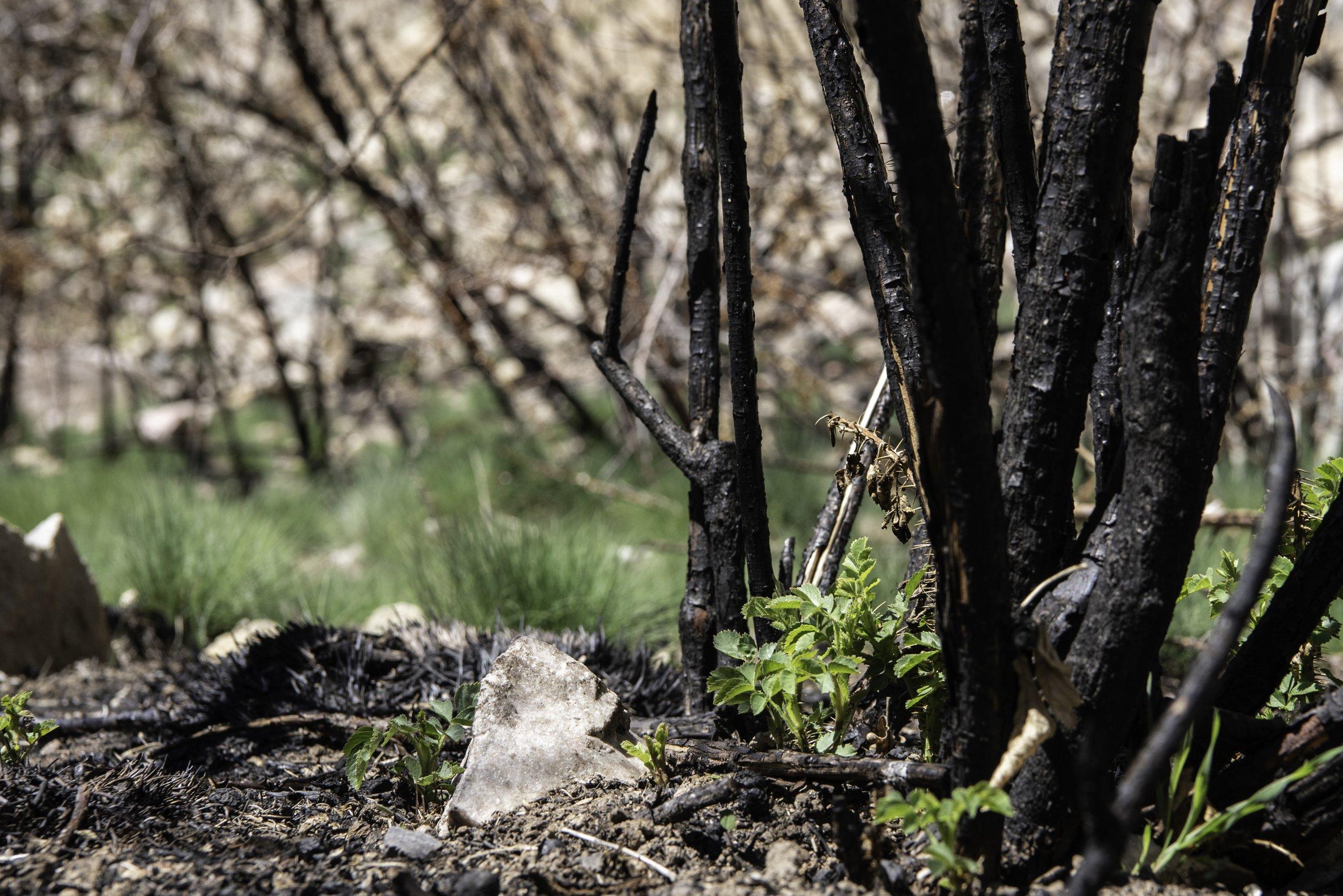Post-burn, life returns at Hanging Lake thumbnail