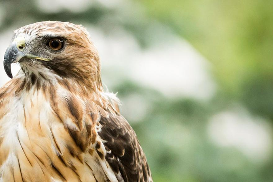 ACES Birds of Prey programs thumbnail
