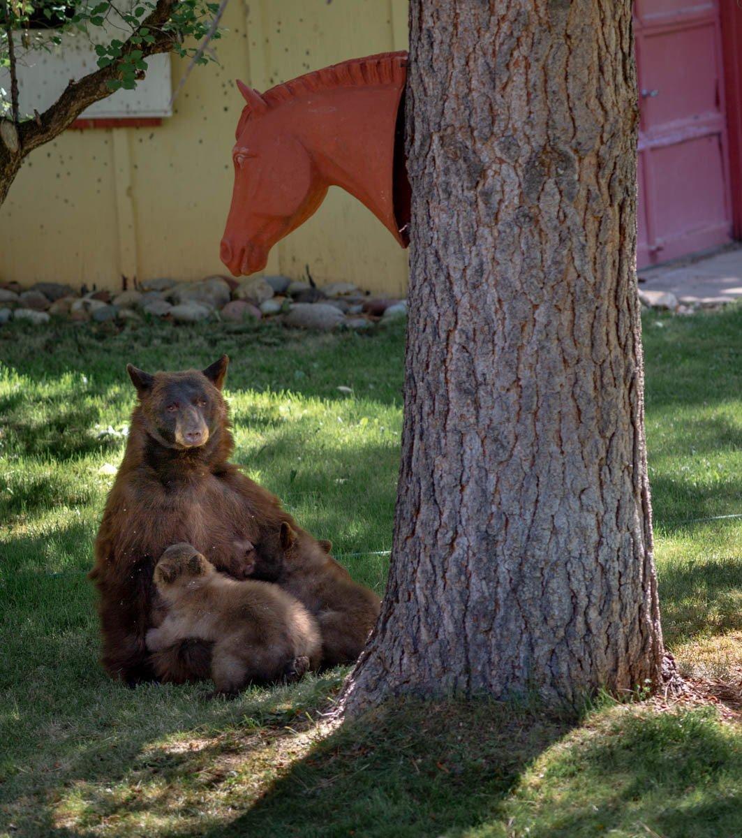 Coalición local se dedica a proteger a los osos thumbnail