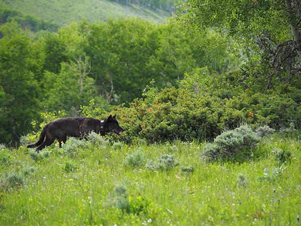 Public informs wolf restoration policy thumbnail
