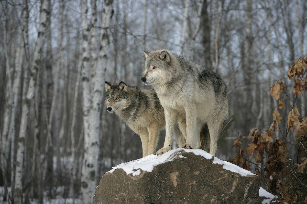 El público informa restauración del lobo thumbnail