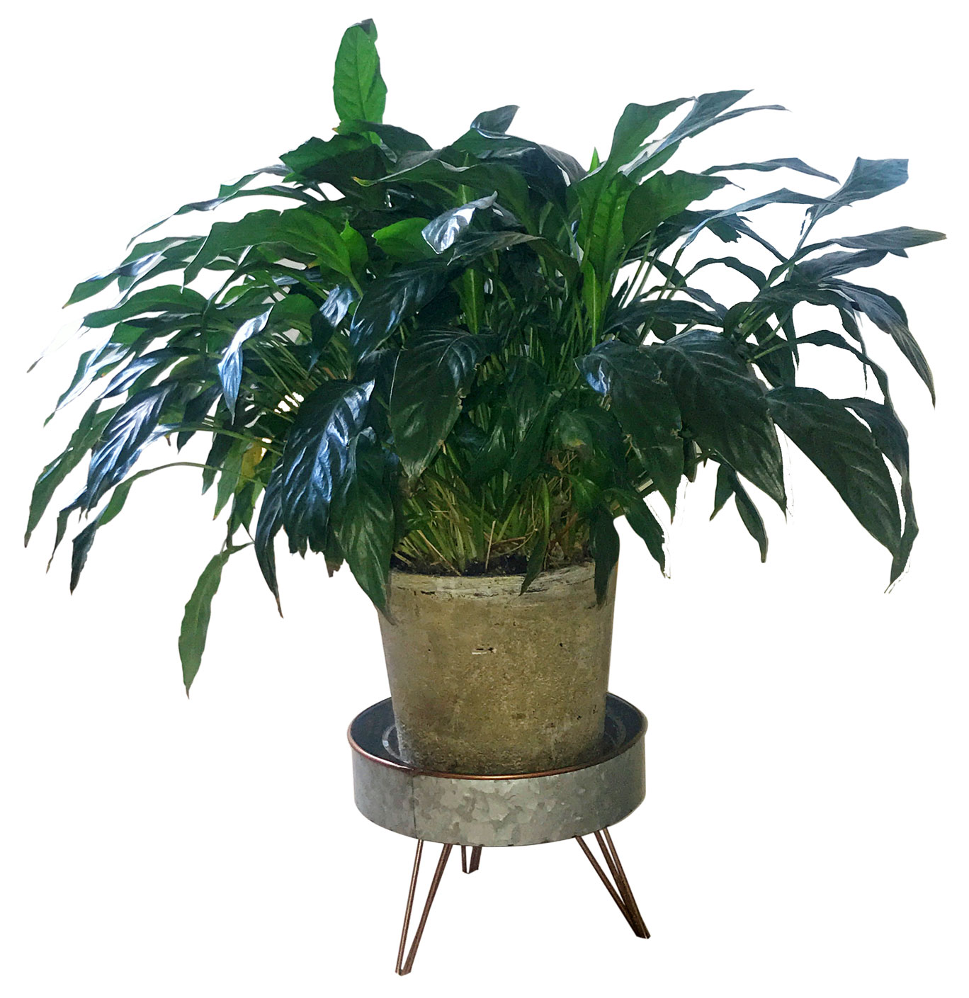 Happy houseplants: Spathiphyllum or Peace Lily