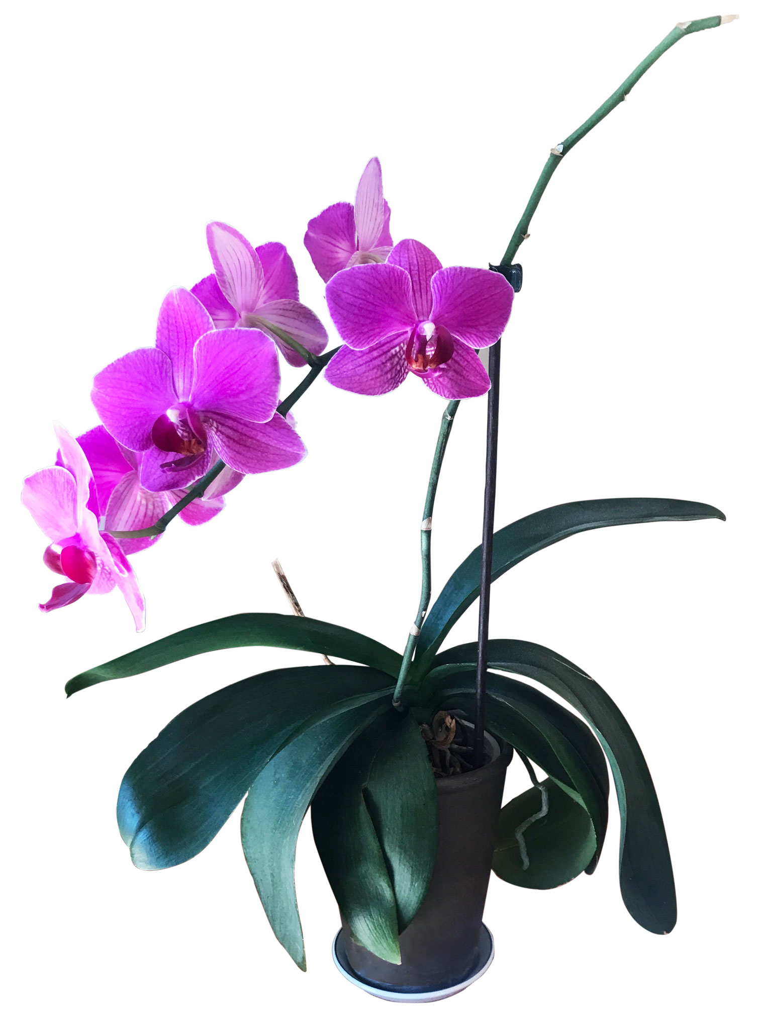 Happy Houseplants: Anne's Orchid