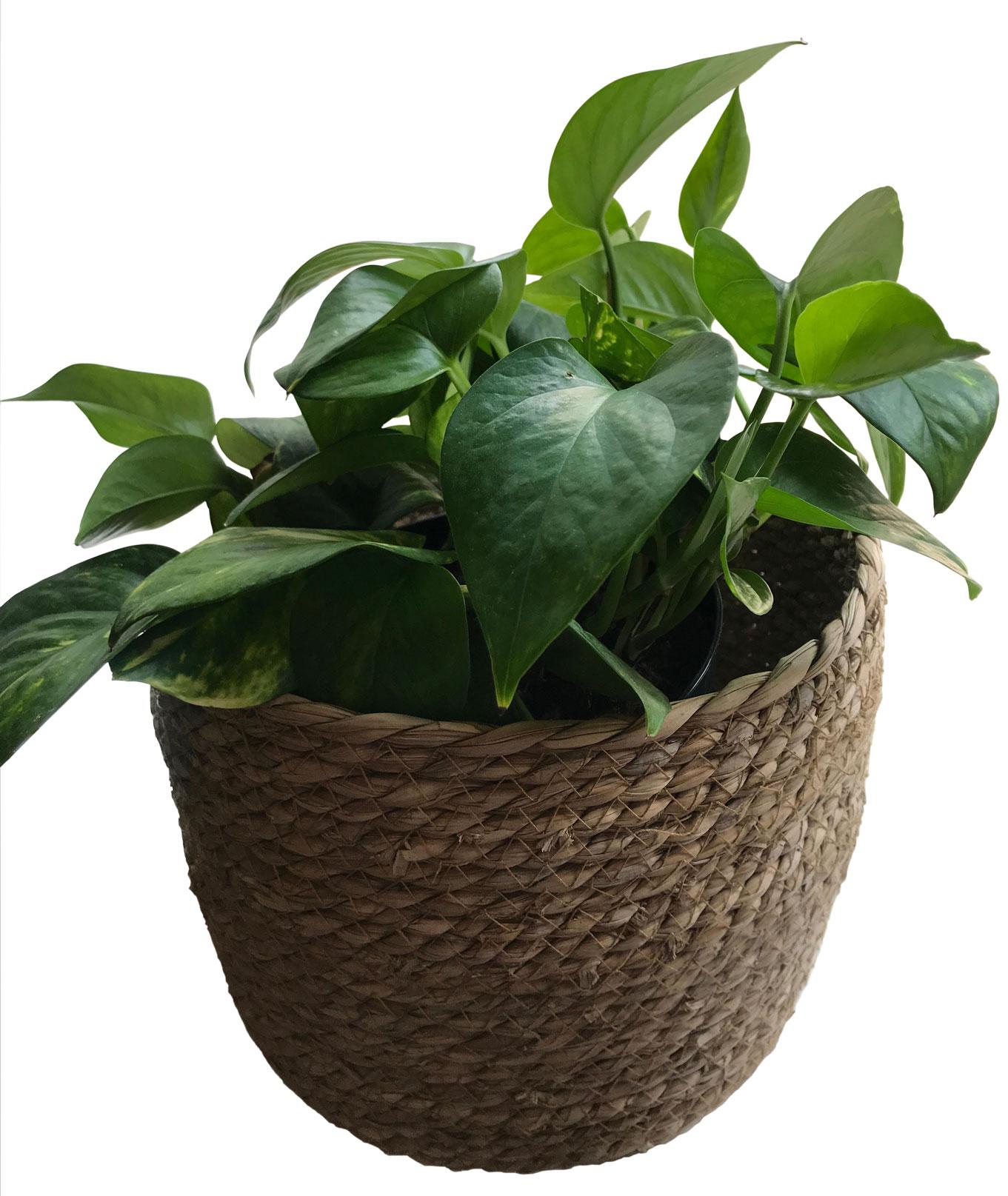 Happy Houseplants - Potho Ivy Plant