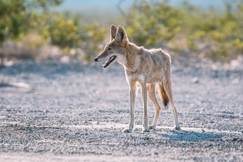 Coyote standing in gravel near someone's yard