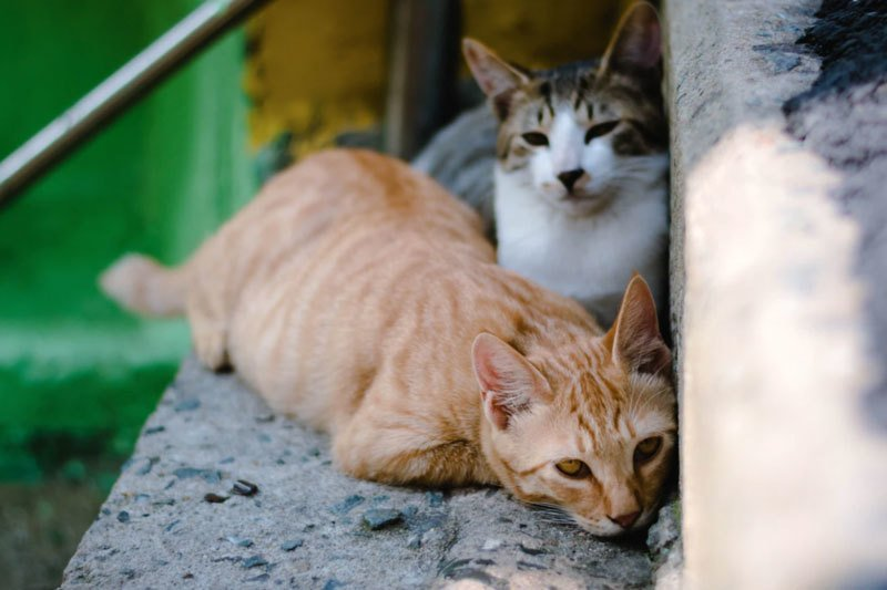 Stray Feral Cats