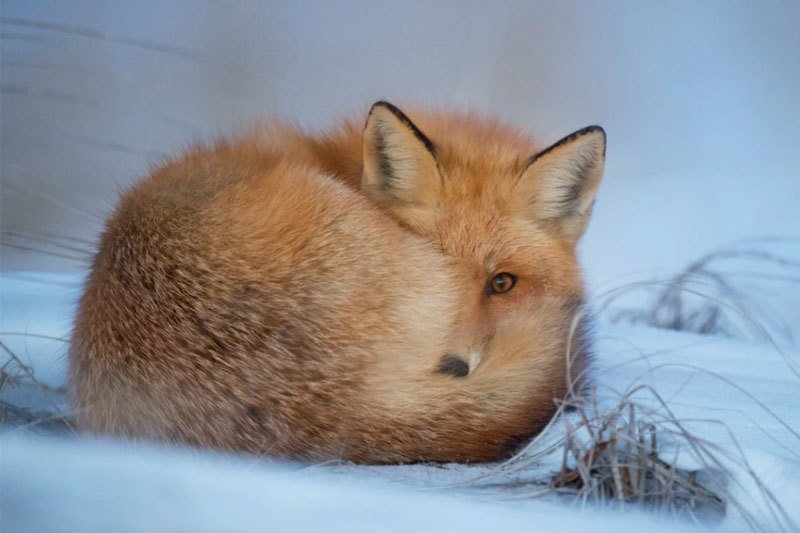 A fox curled up in the snow in the winter