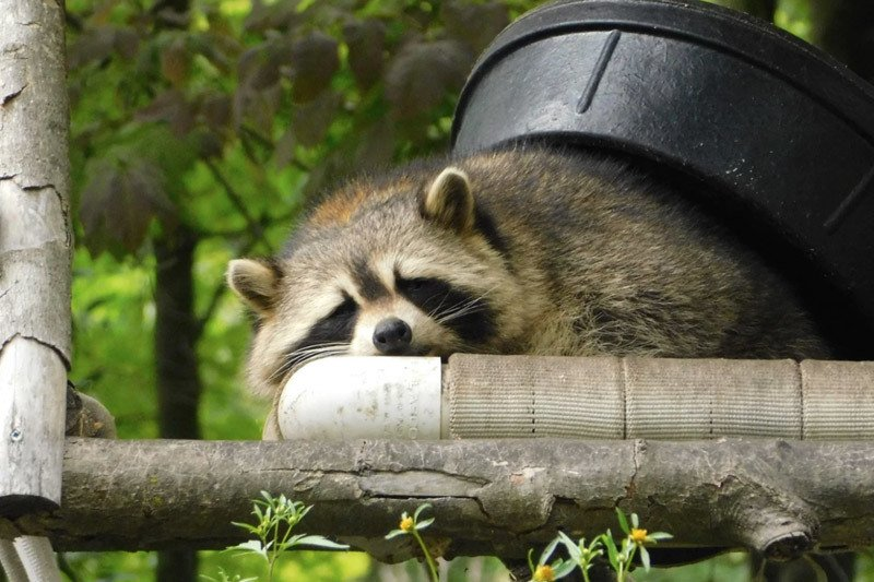 Raccoon hiding in a yard on a fence