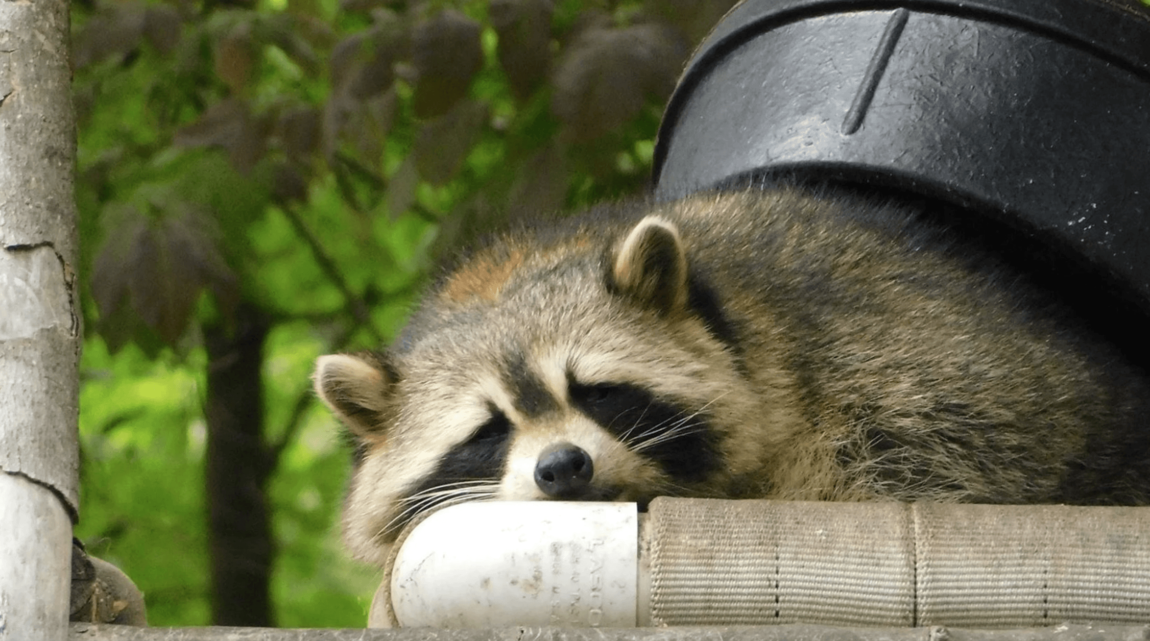 How To Keep Raccoons Away From Your House Nite Guard