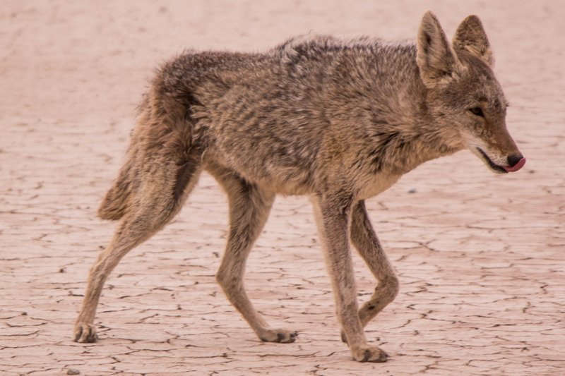 Coyotes: Track the Kill