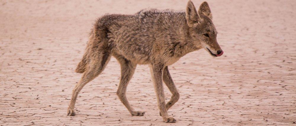 Coyotes: Identify the Kill
