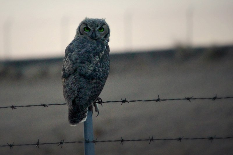 Owl perched on a barbed wire fence