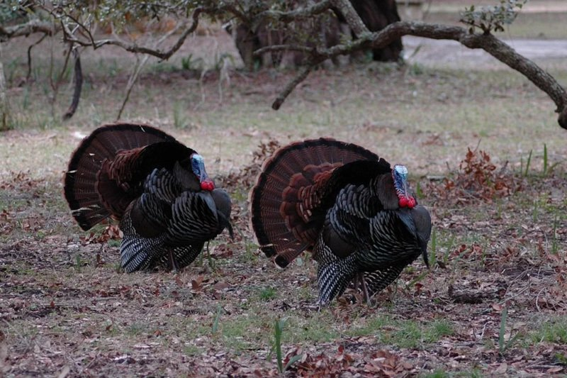 Two wild turkeys in the grass