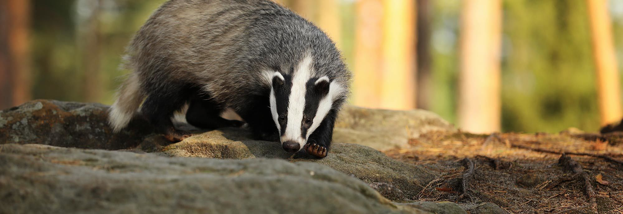 Badger standing on rocks