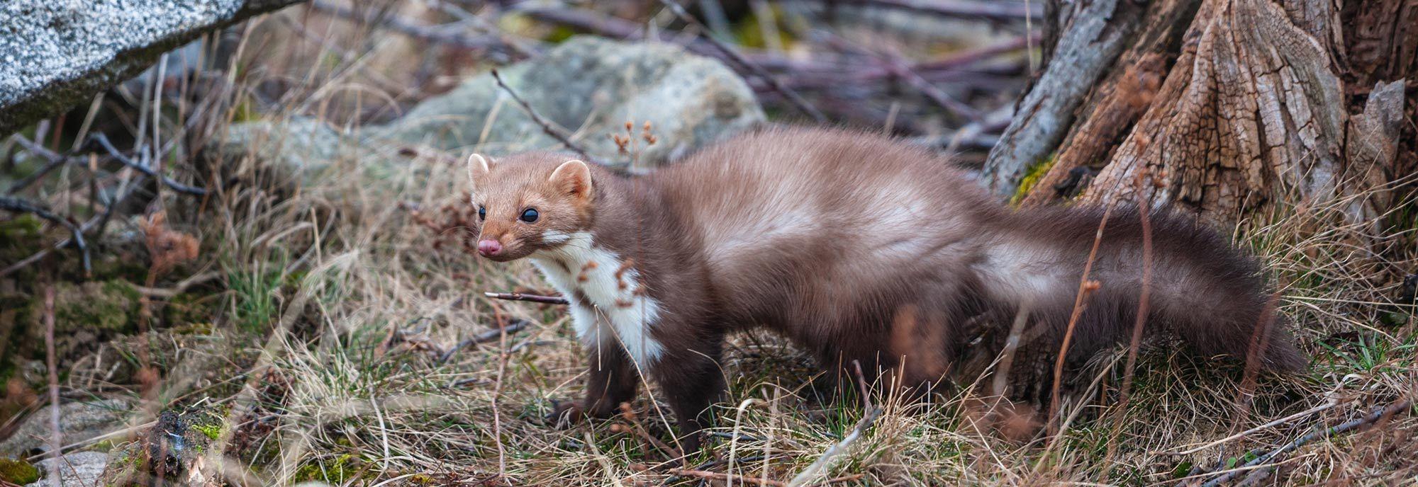 Photo of weasel standing in grass near rocks