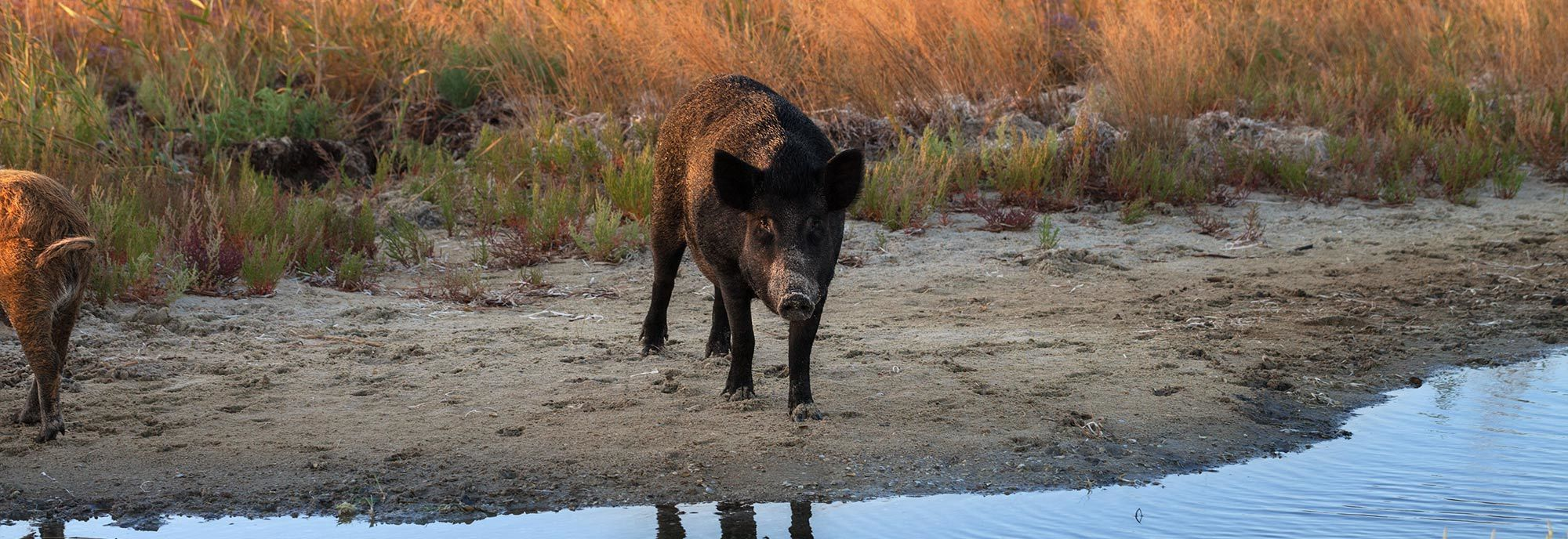 Wild Boar - Wild Hog - standing next to water