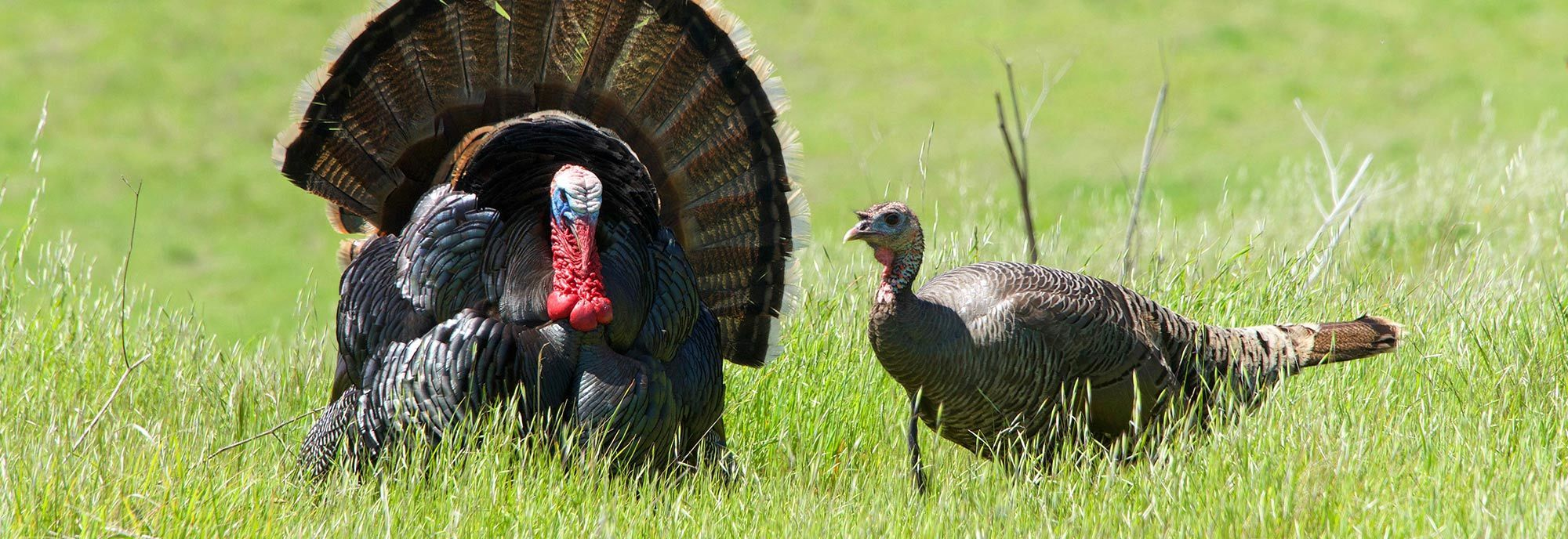 Two Wild Turkeys in a field - repel them with Nite Guard