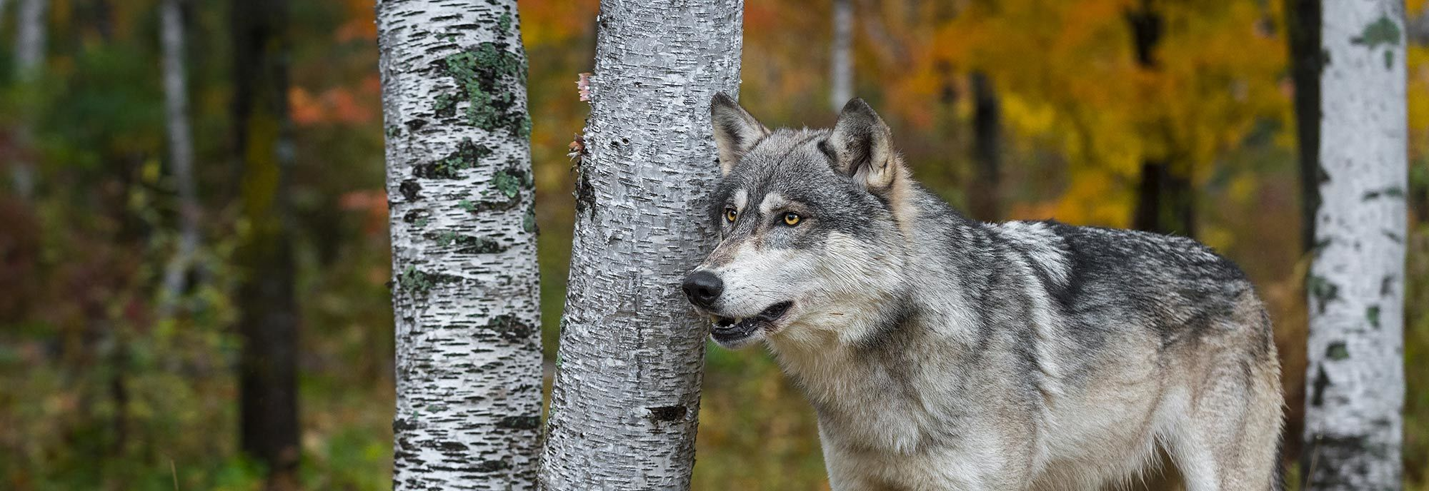 Wolf in Trees: Banner image for Wolf Repellent page