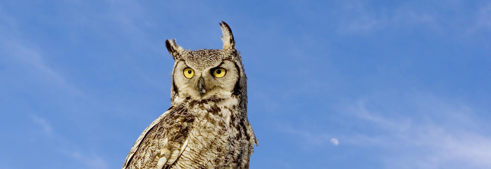 Owl against blue sky - banner photo for Nite Guard Owl Deterrent page