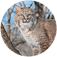 Bobcat against a backdrop of tree trunks